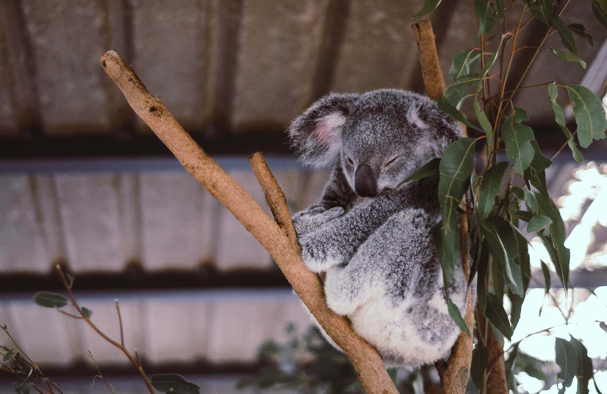 Koala | backpacken in Australië