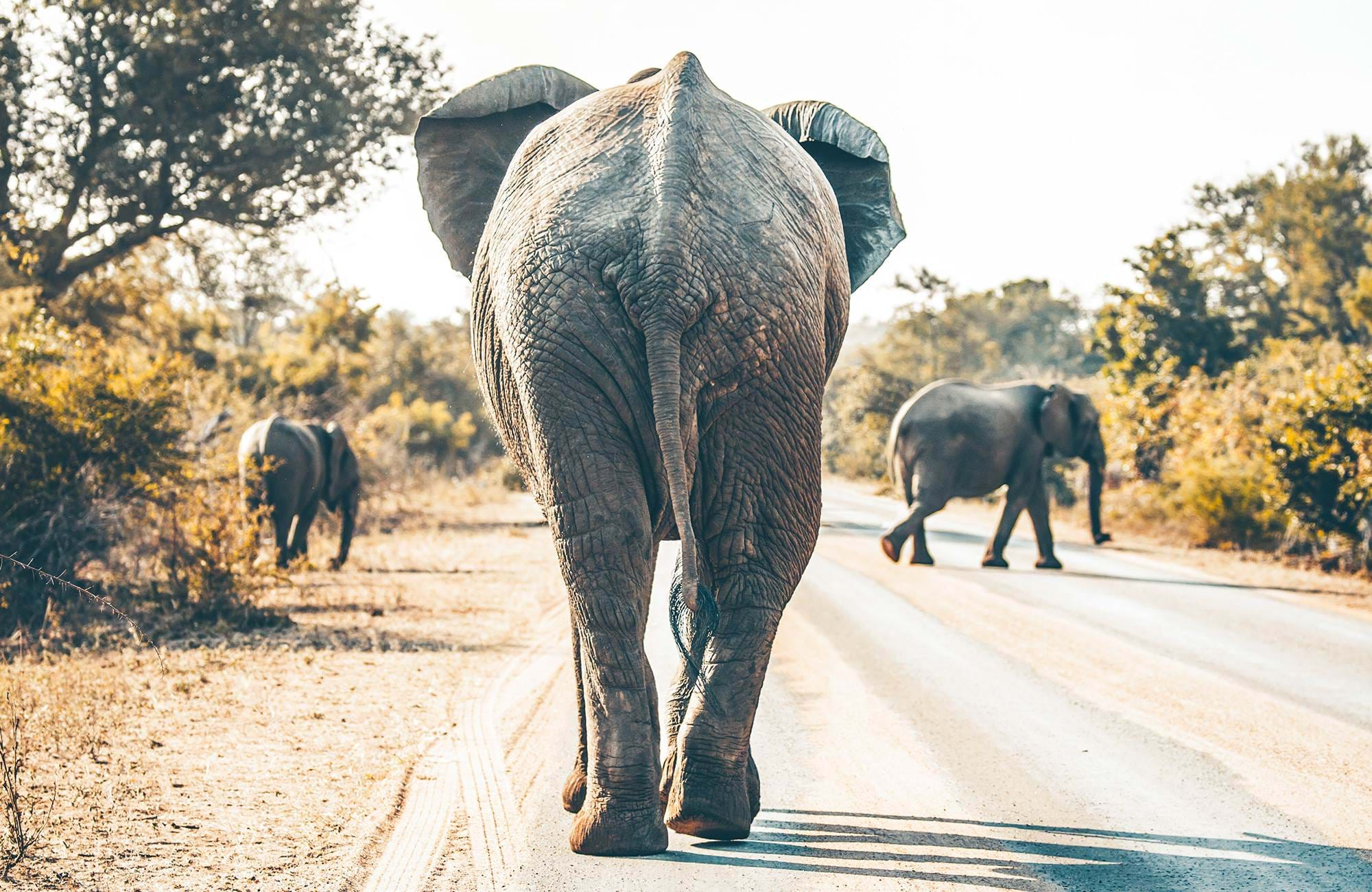 kruger-national-park-elephant-trotting-cover